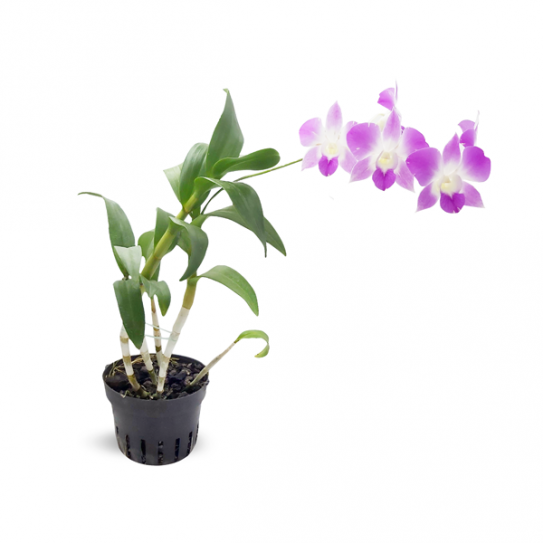 Dendrobium orchid purple with white center